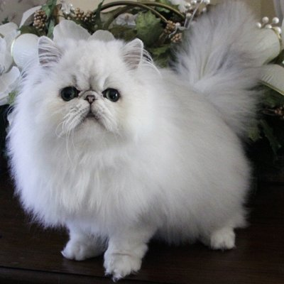 Image of a Persian